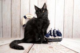 Котята мейн-куны, готовы к переезду. Санкт-Петербург