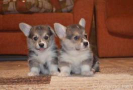Продам: продаются щенки Вельш корги пемброк в Москве