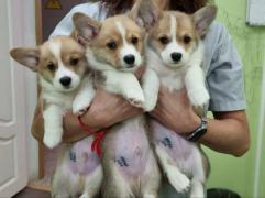 Продам: щеночки породы Вельш корги пемброк в Москве