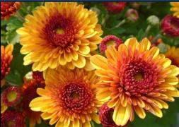 Sell cuttings, young plants of chrysanthemum