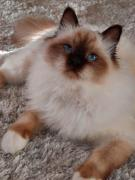 Священная бирма - подросшие котята